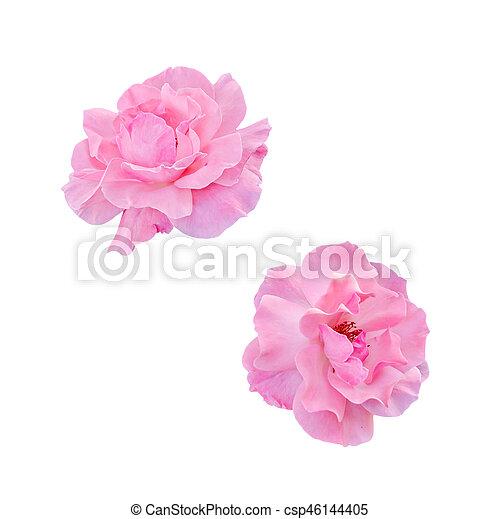 cor-de-rosa, cima, isolado, flores, rosas, fim - csp46144405