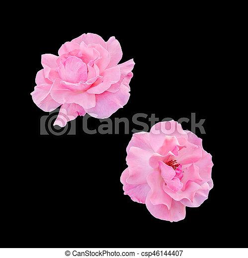 cor-de-rosa, cima, isolado, flores, rosas, fim - csp46144407
