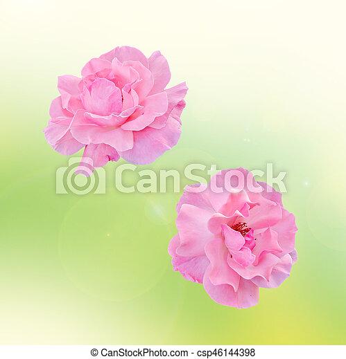 cor-de-rosa, cima, isolado, flores, rosas, fim - csp46144398