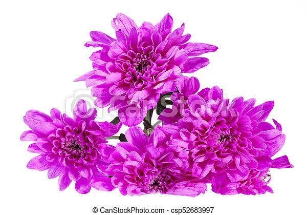 cor-de-rosa, crisântemo, buquet, isolado, experiência., flores brancas - csp52683997