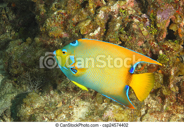 Reina Angelfish en un arrecife de coral - csp24574402