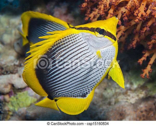 Mariposa negra en un arrecife de coral - csp15160834