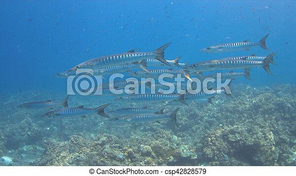 Unas barracudas en un arrecife de coral - csp42828579