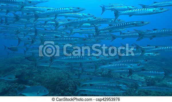 Unas barracudas en un arrecife de coral - csp42953976