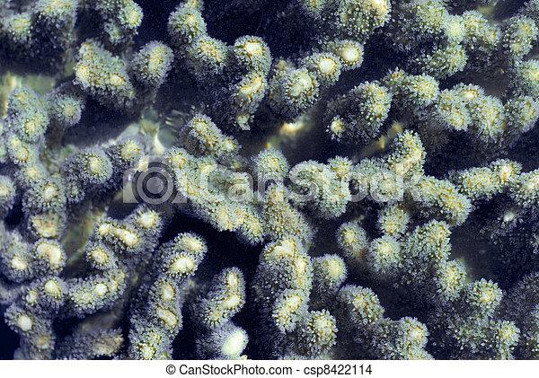 coral, dedo, pólipos - csp8422114