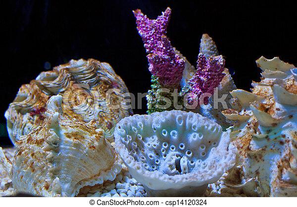 Coral - csp14120324