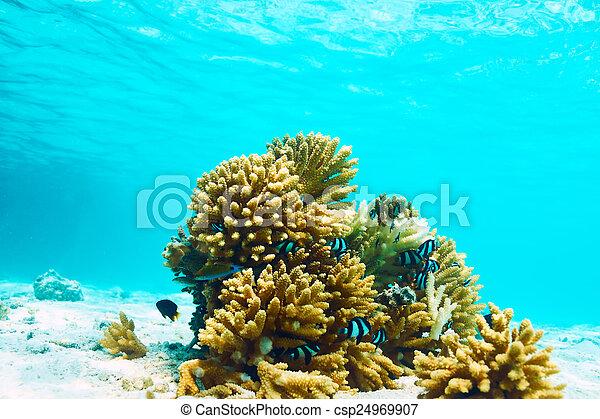 coral, maldivas, arrecife - csp24969907