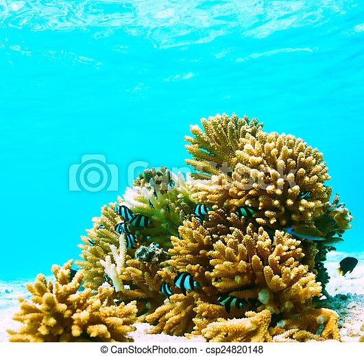 Coral arrecife en Maldivas - csp24820148