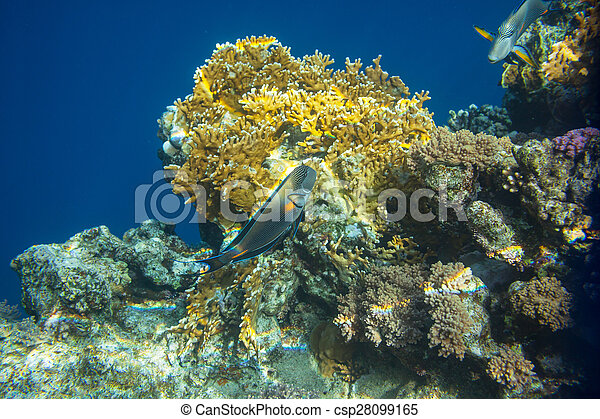 Pescado coral - csp28099165