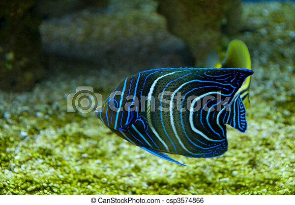 coral, pez - csp3574866