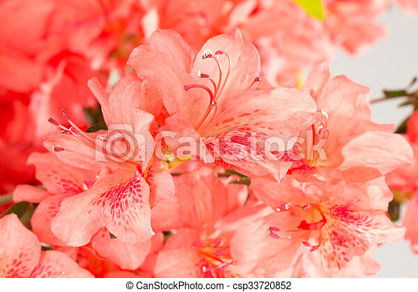 Coral pink azalea flowers background of salmon pink azalea flowers coral pink azalea flowers csp33720852 mightylinksfo