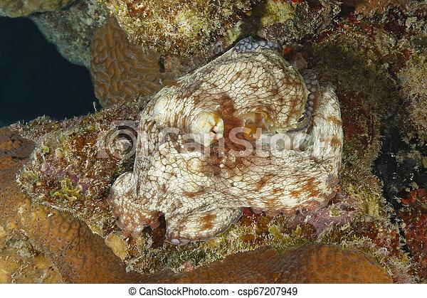 Pulpo común en un arrecife de coral - csp67207949