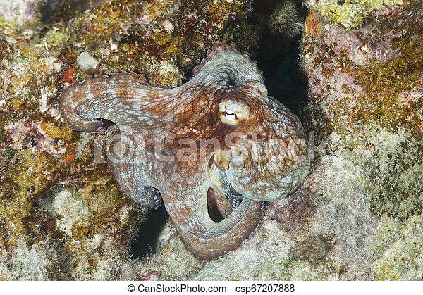 Pulpo común en un arrecife de coral - csp67207888