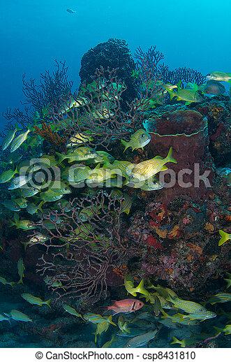 Gruñón francés en un arrecife de coral. - csp8431810
