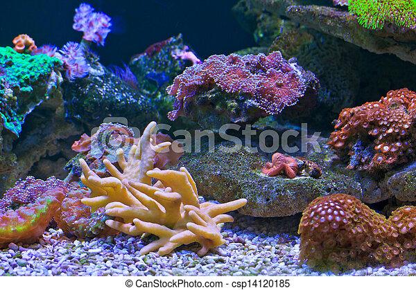 Coral - csp14120185