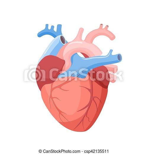 Corazón, órgano, isolated., muscular, anatómico, humano.... clip art ...