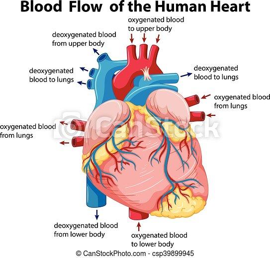 Corazón, actuación, diagrama de flujo, sangre, humano. Corazón ...