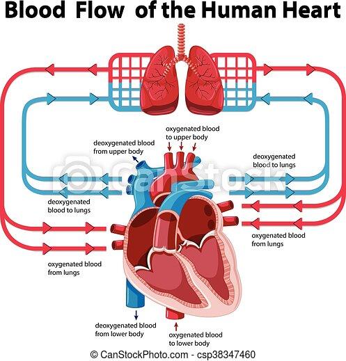 Corazón, actuación, diagrama flujo, sangre, humano. Corazón ...