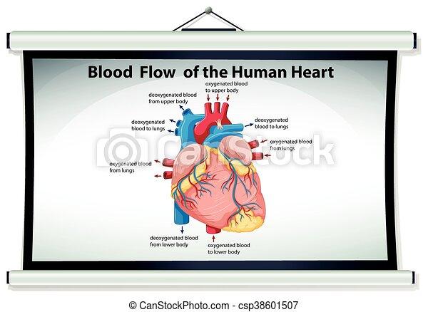Corazón, actuación, diagrama flujo, sangre, humano clipart vectorial ...