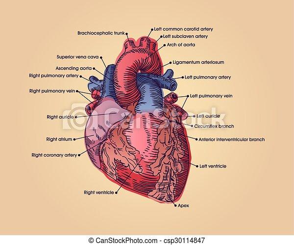 Corazón, anatómico. Corazón, illustration., text., ilustración ...