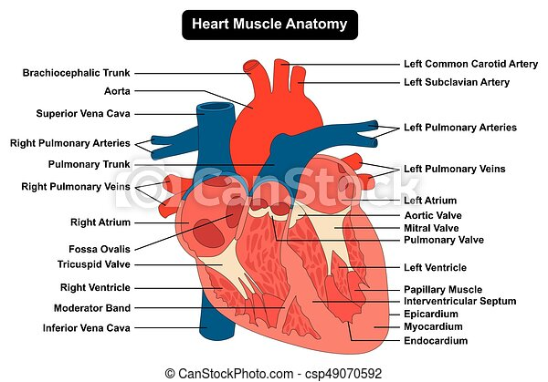 Corazón, anatomía, diagrama, músculo humano, estructura. Corazón ...