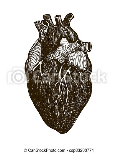 Corazón, humano, anatómico. Corazón, illustration., vendimia ...