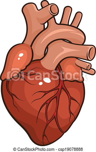 Corazón, humano. Corazón, plano de fondo, aislado,... vector ...