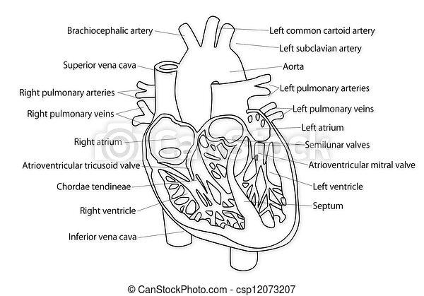 Corazón Humano Estructura