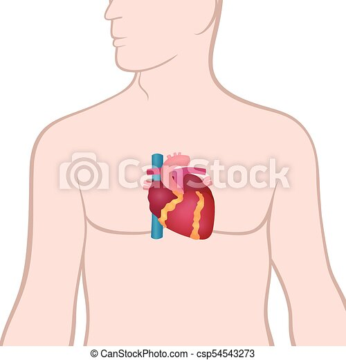 Corazón, humano. Cuerpo, corazón, corazón, anatomía, ubicación, humano.