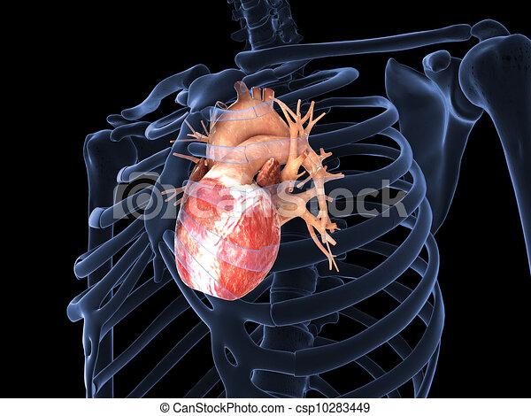 Corazón, humano, radiografía. Render, 3d.