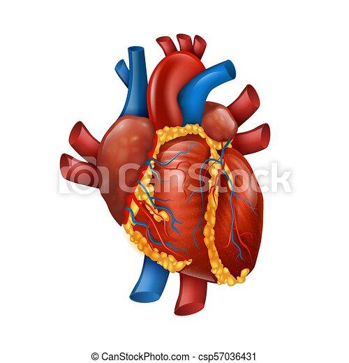 Corazón Sano Ilustración Realista Vector Humano Corazón