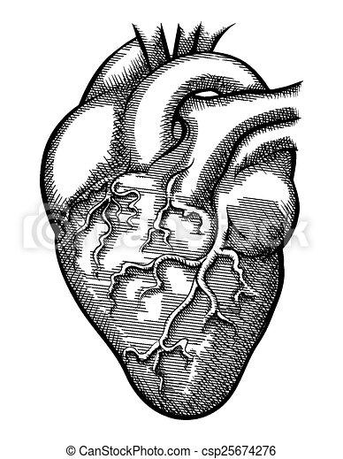 Corazón Vector Humano Heart Humano órgano Cardiología Bomba