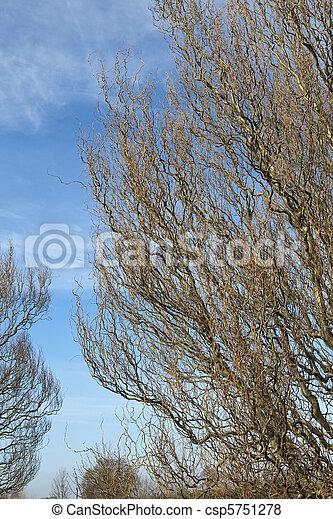corkscrew willow - csp5751278