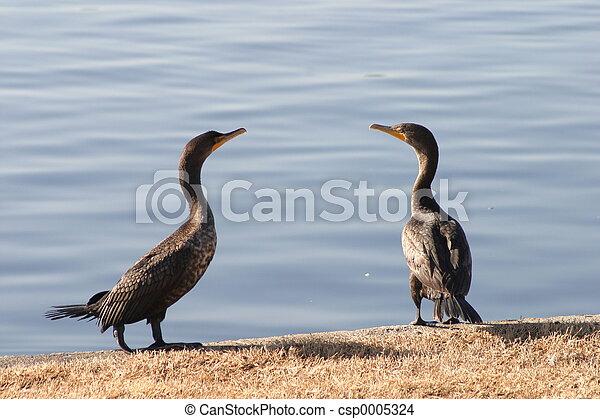 Cormorant pair - csp0005324