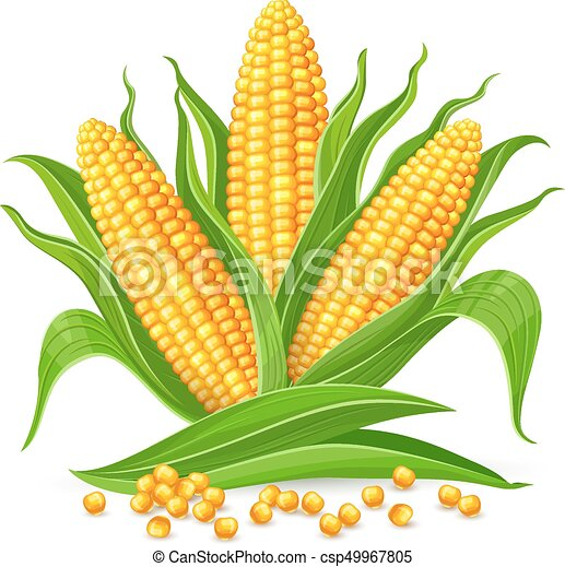 corn cobs isolated corncobs with yellow corns and green vector rh canstockphoto com  corn on the cob clip art black and white