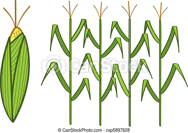 corn four corn stalks and a corn cob rh canstockphoto com Beachmont Corn Maze corn stalks clipart free