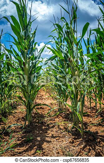 corn farm field on a sunny day - csp67656835