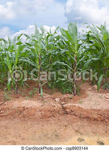 Corn farm - csp8903144