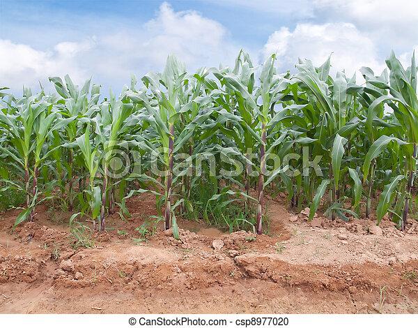 Corn farm - csp8977020