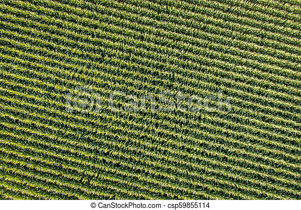 corn field aerial view - csp59855114
