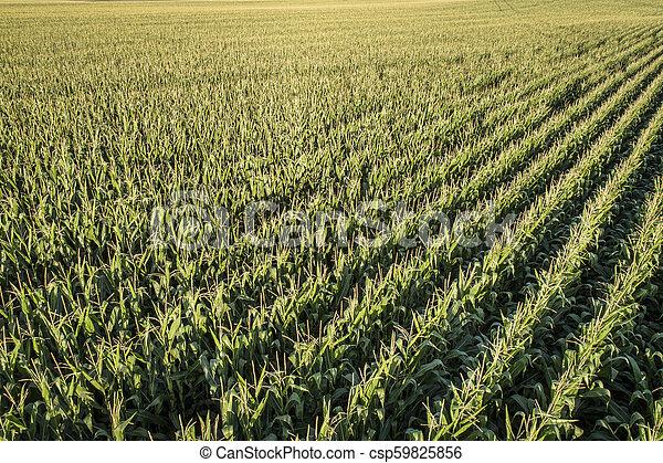 corn field aerial view - csp59825856