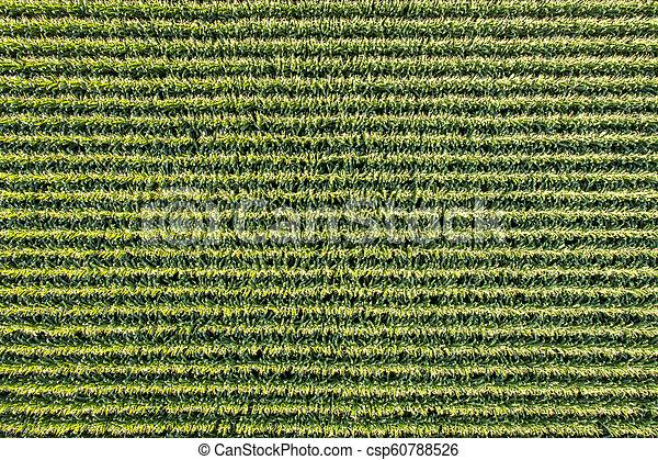 corn field aerial view - csp60788526