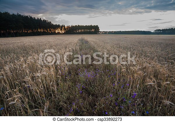 Corn field landscape - csp33892273