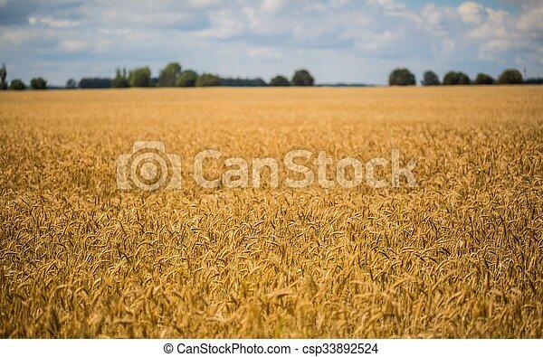 Corn field landscape - csp33892524