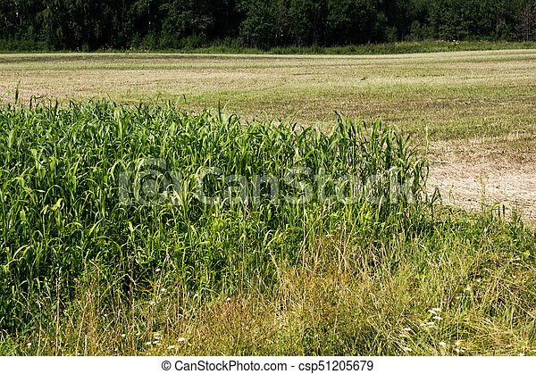Corn field on a hot day - csp51205679