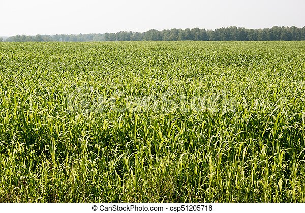 Corn field on a hot day - csp51205718