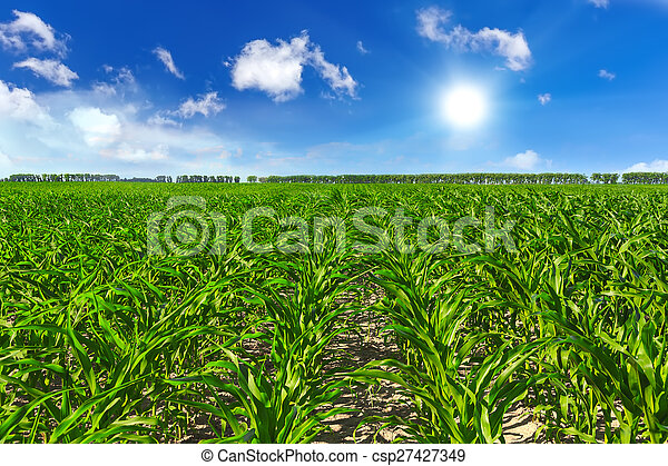 Corn field - csp27427349