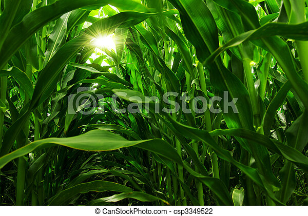Corn Field - csp3349522