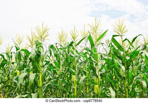 corn field - csp9778540