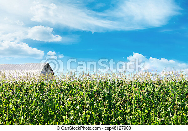 Corn field with barn and blue skies in background - csp48127900